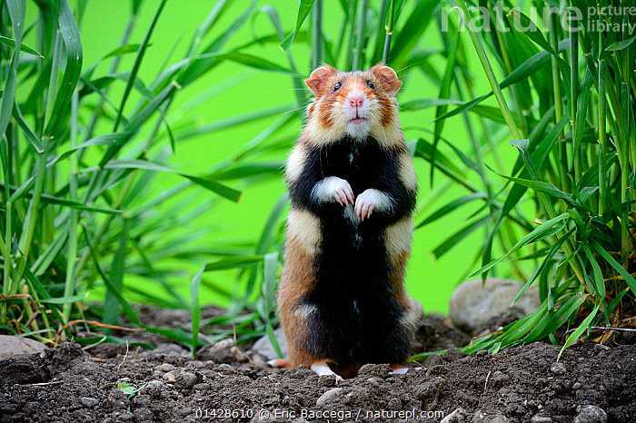 Common hamster (Cricetus cricetus) standing, Alsace, France, captive  ,  Alsace,CRICETIDAE,EUROPE,FRANCE,HAMSTERS,MAMMALS,PORTRAITS,rodents,STANDING,VERTEBRATES high1314,CRICETUS CRICETUS,Animal,Vertebrate,Mammal,Rodent,Hamster,Black-bellied Hamster,Animalia,Animal,Wildlife,Vertebrate,Mammalia,Mammal,Rodentia,Rodent,Cricetidae,Cricetus,Hamster,Cricetus cricetus,Black-bellied Hamster,Common Hamster,Cricetus albus,Cricetus babylonicus,Cricetus canescens,Standing,Alertness,Alert,Curiosity,Uncertain,Unsure,Suspicion,Nobody,Pattern,Patterned,Patterns,Europe,Western Europe,France,Alsace,Close Up,Front View,View From Front,Plant,Grass Family,Grass,Grasses,Animal Limbs,Limb,Limbs,Animal Feet,Feet,Foot,Paw,Paws,Outdoors,Open Air,Outside,Day,Captivity,Standing on hind legs,Direct Gaze,Animal marking  ,  Eric Baccega