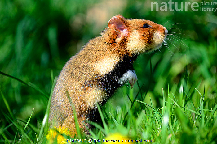 Common hamster (Cricetus cricetus), foraging in a field, Alsace, France, captive.  ,  ALSACE,CRICETIDAE,EUROPE,FRANCE,HAMSTERS,MAMMALS,PORTRAITS,PROFILE,RODENTS,VERTEBRATES  ,  Eric Baccega