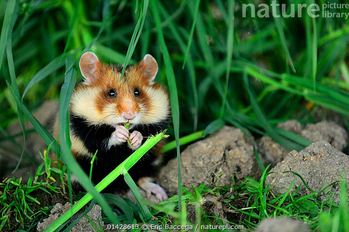 Common hamster feeding (Cricetus cricetus) Alsace, France, captive.  ,  ALSACE,CRICETIDAE,EUROPE,FEEDING,FRANCE,HAMSTERS,MAMMALS,RODENTS,VERTEBRATES  ,  Eric Baccega