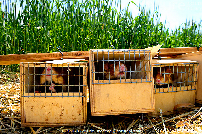 Common Hamster (Cricetus cricetus) ready for release in a wheat field. Grussenheim, Alsace, France, June 2013  ,  CAGED,CAGES,CONSERVATION,CRICETIDAE,EUROPE,FRANCE,GROUPS,HAMSTERS,MAMMALS,RELEASING,RODENTS,VERTEBRATES  ,  Eric Baccega