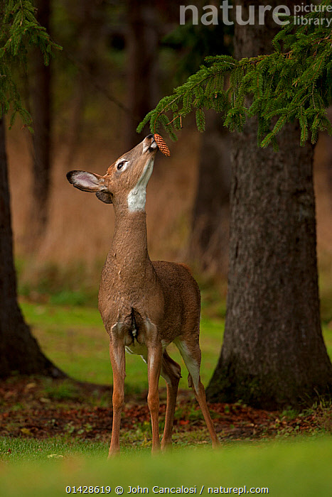 White-tailed Deer (Odocoileus virginianus) sniffing spruce cone. New York, USA, January.  ,  catalogue6,ODOCOILEUS VIRGINIANUS,Animal,Vertebrate,Mammal,Deer,Key Deer,Animalia,Animal,Wildlife,Vertebrate,Chordate,Mammalia,Mammal,Artiodactyla,Even toed ungulates,Cervidae,Deer,True deer,ruminantia,Ruminant,Odocoileus,Odocoileus virginianus,Key Deer,Key Deer Toy Deer,White tailed Deer,Reaching,Reach,Reaches,Head Back,Head Cocked,Standing,Smelling,Sniffing,No One,Nobody,North America,USA,Eastern USA,Mid Atlantic US,New York,Plant,Needle,Pine Needle,Pine Cone,Fir Cone,Fir Cones,Pine Cones,Pinecone,Tree Trunk,Outdoors,Open Air,Outside,Day,Feeding,Cone,Using Senses  ,  John Cancalosi