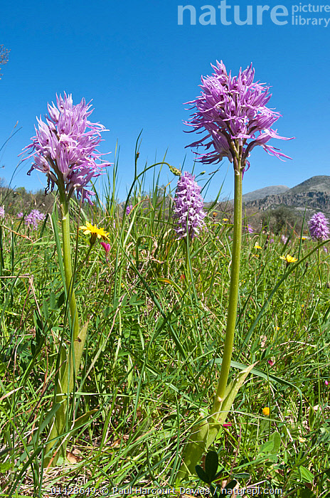 Wavy-leaved monkey orchid (Orchis italica) in flower, Crete, April  ,  CRETE,EUROPE,FLOWERS,GREECE,MEDITERRANEAN,MONOCOTYLEDONS,ORCHIDACEAE,ORCHIDS,PLANTS,PURPLE,VERTICAL  ,  Paul Harcourt Davies