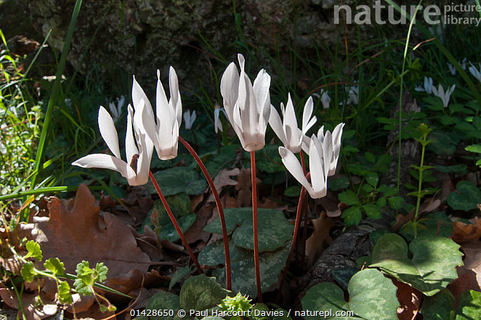 Cretan Cyclamen (Cyclamen creticum) near Spili, Crete, April  ,  CRETE,DICOTYLEDONS,ENDEMIC,EUROPE,FLOWERS,GREECE,MEDITERRANEAN,PLANTS,PRIMULACEAE,WHITE  ,  Paul Harcourt Davies