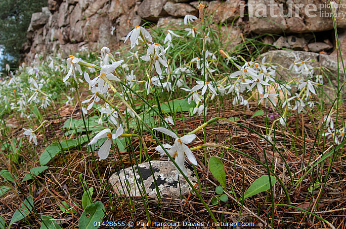 Late narcissus (Narcissus serotinus) in flower, Italy, September  ,  AMARYLLIDACEAE,EUROPE,FLOWERS,ITALY,MONOCOTYLEDONS,PLANTS,WHITE  ,  Paul Harcourt Davies