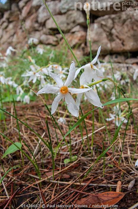 Late narcissus (Narcissus serotinus) in flower, Italy, September  ,  AMARYLLIDACEAE,EUROPE,FLOWERS,ITALY,MONOCOTYLEDONS,PLANTS,VERTICAL,WHITE  ,  Paul Harcourt Davies