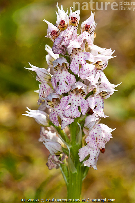 Milky Orchid (Orchis / Neotinea lactea) an early-flowering species of limestone areas of the Mediterranean. Photo-Gious Kambos, near Spili, Crete, April  ,  CRETE,EUROPE,FLOWERS,GREECE,MEDITERRANEAN,MONOCOTYLEDONS,ORCHIDACEAE,ORCHIDS,PLANTS,VERTICAL,WHITE  ,  Paul Harcourt Davies