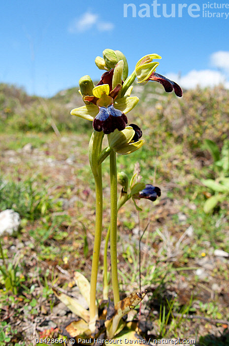 Iris Ophrys (Ophrys iricolor) in flower, a widespread  orchid of the eastern Mediterranean. Gious Kambos, near Spili, Crete, April  ,  CRETE,EUROPE,FLOWERS,GREECE,HABITAT,MEDITERRANEAN,MONOCOTYLEDONS,ORCHIDACEAE,ORCHIDS,PLANTS,VERTICAL,YELLOW  ,  Paul Harcourt Davies