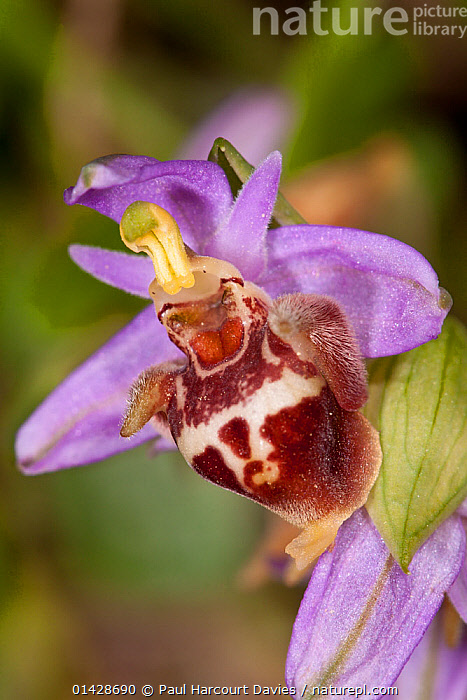 Candia's Ophrys (Ophrys candica / holoserica ssp candica / fuciflora ssp candica) in flower, near Plakias, Crete, April  ,  CRETE,EUROPE,FLOWERS,GREECE,MEDITERRANEAN,MONOCOTYLEDONS,ORCHIDACEAE,ORCHIDS,PLANTS,PURPLE,VERTICAL  ,  Paul Harcourt Davies