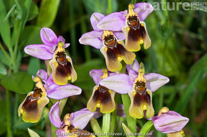 Sawfly orchid (Ophrys tenthredinifera) in flower, Gious Kambos, near Spili, Crete, April  ,  BROWN,CRETE,EUROPE,FLOWERS,GREECE,MEDITERRANEAN,MONOCOTYLEDONS,ORCHIDACEAE,ORCHIDS,PLANTS,PURPLE,YELLOW  ,  Paul Harcourt Davies
