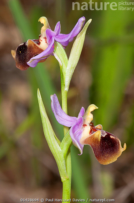 Large-flowered Bee Orchid (Ophrys episcopalis) in flower, Gious Kambos, Spili, Crete  ,  CRETE,EUROPE,FLOWERS,GREECE,MEDITERRANEAN,MONOCOTYLEDONS,ORCHIDACEAE,ORCHIDS,PLANTS,PURPLE,VERTICAL  ,  Paul Harcourt Davies