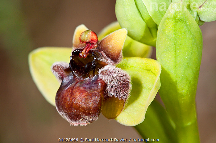 Bumble-bee orchid (Ophrys bombyliflora) in flower, Gious Kambos, Crete, April  ,  BROWN,CRETE,EUROPE,FLOWERS,GREECE,MEDITERRANEAN,MONOCOTYLEDONS,ORCHIDACEAE,ORCHIDS,PLANTS  ,  Paul Harcourt Davies