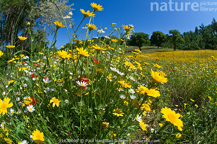 Corn marigolds (Chysanthemum coronarium) in flower, growing near the military cemetry, Bolsena, Italy, May. Taken with fisheye lens  ,  ASTERACEAE,COLOURFUL,COMPOSITAE,DICOTYLEDONS,EUROPE,FISH EYE,FLOWERS,GRASSLAND,ITALY,MIXED SPECIES,PLANTS,YELLOW  ,  Paul Harcourt Davies