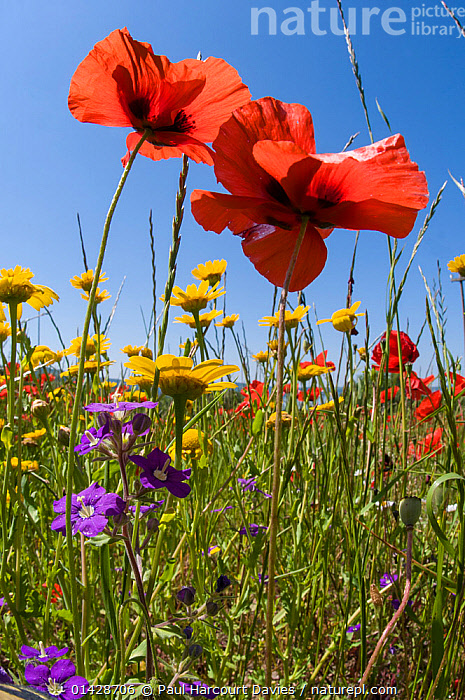 Poppies (Papaver rhoeas) with corn marigolds (Chrysanthemum coronarium) and Venus' looking glass (Legousia speculum-veneris) growing near the military cemetry, Bolsena, Italy, May  ,  BLUE,COLOURFUL,DICOTYLEDONS,EUROPE,FLOWERS,ITALY,MIXED SPECIES,PAPAVERACEAE,PLANTS,RED,VERTICAL,WILD FLOWERS,WILDFLOWERS,YELLOW  ,  Paul Harcourt Davies