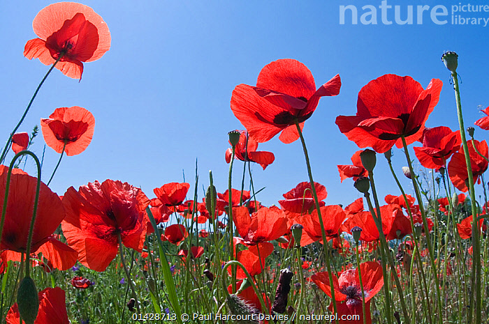 Poppies (Papaver rhoeas) in flower, growing near the military cemetry, Bolsena, Italy, May.  ,  DICOTYLEDONS,EUROPE,FLOWERS,ITALY,LOW ANGLE SHOT,PAPAVERACEAE,PLANTS,RED  ,  Paul Harcourt Davies