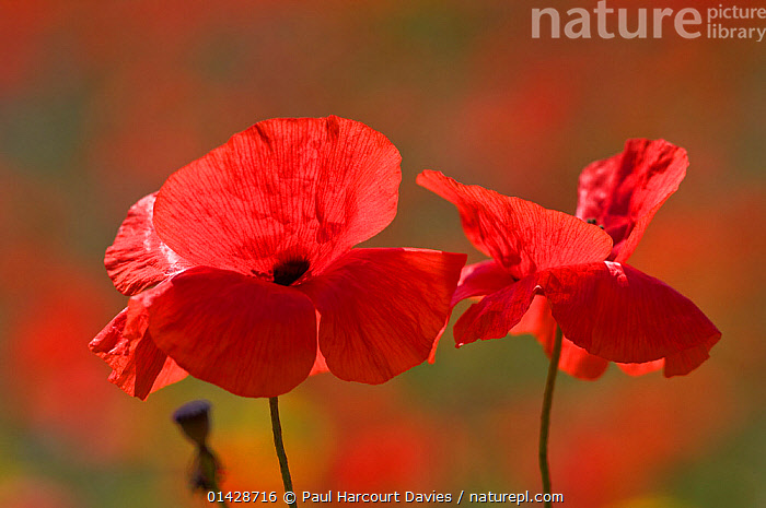 Poppies (Papaver rhoeas) in flower, Bolsena, Italy, May  ,  DICOTYLEDONS,EUROPE,FLOWERS,ITALY,PAPAVERACEAE,PLANTS,RED  ,  Paul Harcourt Davies