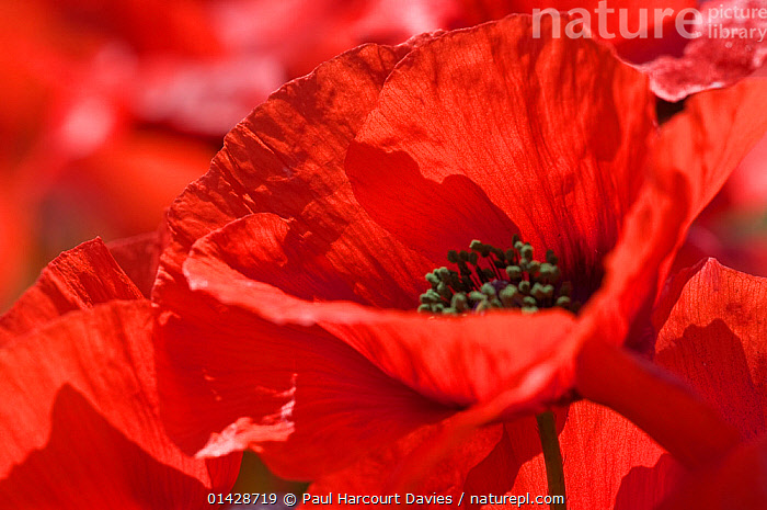 Poppies (Papaver rhoeas) close-up of flower, Bolsena, Italy, May  ,  CLOSE UPS,DICOTYLEDONS,EUROPE,FLOWERS,ITALY,PAPAVERACEAE,PLANTS,RED  ,  Paul Harcourt Davies