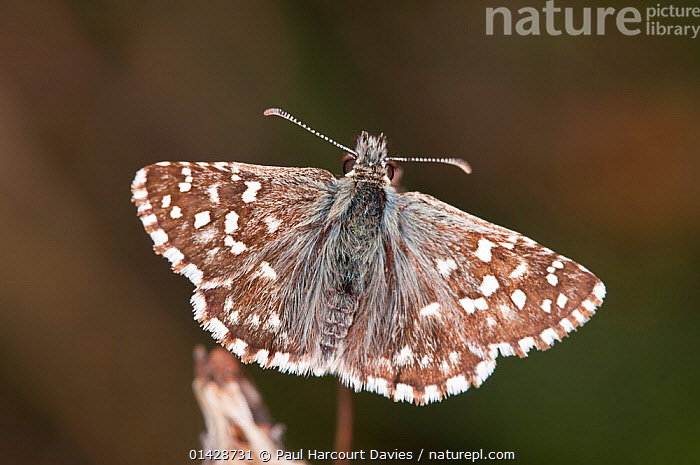 Grizzled skipper (Pyrgus malvae) near Torrealfina, Orvieto, Italy, May  ,  BUTTERFLIES,EUROPE,INSECTS,INVERTEBRATES,ITALY,LEPIDOPTERA,PORTRAITS,SKIPPER BUTTERFLIES,SKIPPERS  ,  Paul Harcourt Davies