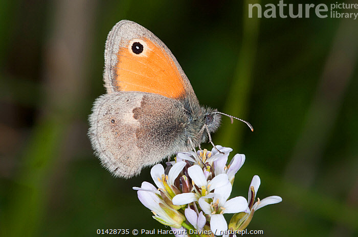 Small Heath butterfly (Coenonympha pamphilus) on flowers, Podere Montecuccco, near Orvieot, Umbria, Italy, May  ,  ARTHROPODS,BUTTERFLIES,EUROPE,FLOWERS,INSECTS,INVERTEBRATES,ITALY,LEPIDOPTERA,PROFILE  ,  Paul Harcourt Davies