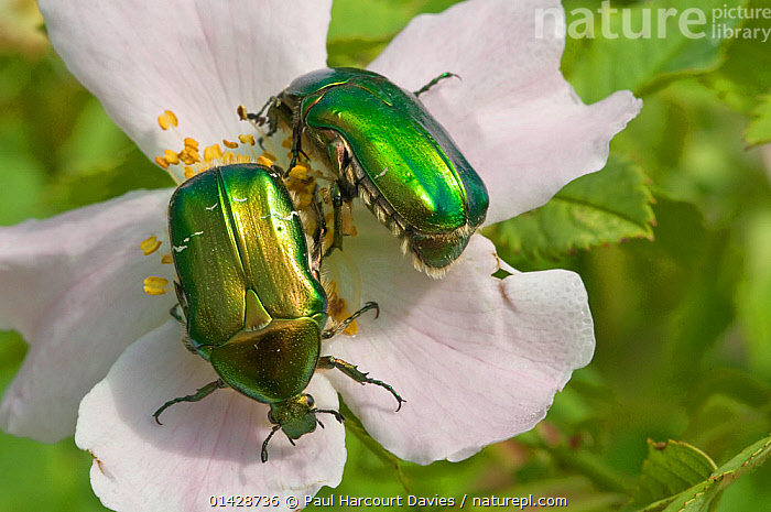 Rose Chafer beetle (Cetonia aurata) feeding on rose flower pollen, Torrealfina, Orvieto, Italy, May  ,  BEETLES,CHAFERS,COLEOPTERA,EUROPE,FLOWERS,GREEN,INSECTS,INVERTEBRATES,ITALY,ROSES,WHITE  ,  Paul Harcourt Davies