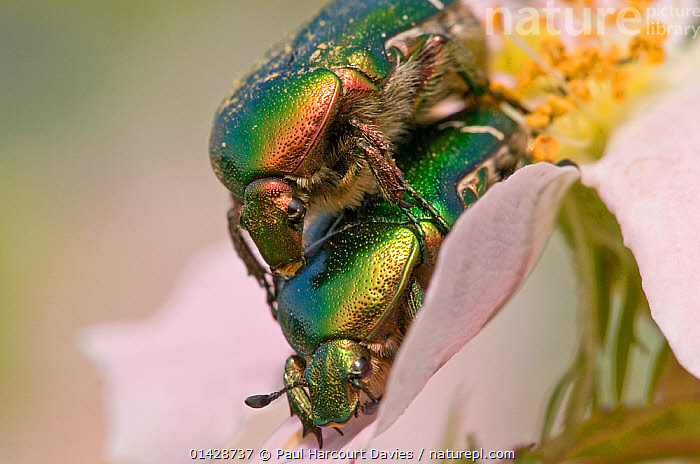 Rose Chafer beetles (Cetonia aurata) mating on rose flower, Torrealfina, Orvieto, Italy, May  ,  BEETLES,CHAFERS,COLEOPTERA,COPULATION,EUROPE,FEMALES,FLOWERS,INSECTS,INVERTEBRATES,ITALY,MALE FEMALE PAIR,MALES,MATING BEHAVIOUR,REPRODUCTION,ROSES  ,  Paul Harcourt Davies