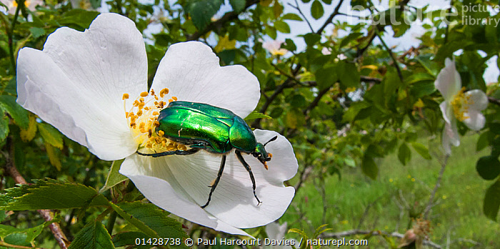 Rose Chafer beetle (Cetonia aurata) on rose flower, Torrealfina, Orvieto, Italy, May  ,  BEETLES,CHAFERS,COLEOPTERA,EUROPE,FLOWERS,GREEN,INSECTS,INVERTEBRATES,ITALY,PANORAMIC,PLANTS,ROSES,WHITE  ,  Paul Harcourt Davies
