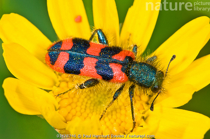Checkered beetel (Trichodes alvearius) a colourful soldier beetle, Orvieto, Italy, May  ,  BEETLES,BLACK,CHECKERED BEETLES,CLOSE UPS,COLEOPTERA,EUROPE,FLOWERS,INSECTS,INVERTEBRATES,ITALY,RED,YELLOW  ,  Paul Harcourt Davies