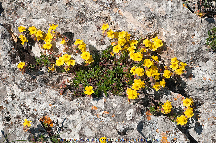 Hoary Rockrose (Hypericum canum) in flower, crack in rock, near Mount St. Angelo, Gargano, Puglia. Italy, May  ,  DICOTYLEDONS,ENDEMIC,EUROPE,FLOWERS,HYPERICACEAE,ITALY,PLANTS,YELLOWS  ,  Paul Harcourt Davies