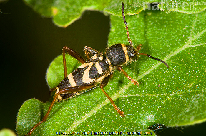 Wasp Beetle (Clytus arietus) a wasp mimic found on tree trunks in sunny places, in garden, near Orvieto, Italy, May  ,  BEETLES,COLEOPTERA,EUROPE,INSECTS,INVERTEBRATES,ITALY,LEAVES,LONGHORN BEETLES,MIMICRY,OAK,WARNING COLOURATION  ,  Paul Harcourt Davies