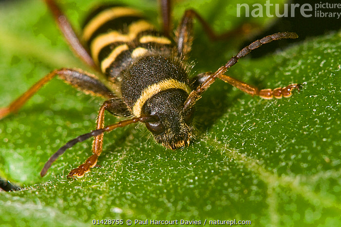 Wasp Beetle (Clytus arietus) a wasp mimic found on tree trunks in sunny places, on oak leaf, in garden, near Orvieto, Italy, May  ,  BEETLES,CLOSE UPS,COLEOPTERA,EUROPE,INSECTS,INVERTEBRATES,ITALY,LEAVES,LONGHORN BEETLES,MACRO,MIMICRY,WARNING COLOURATION  ,  Paul Harcourt Davies