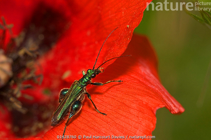 Thick-legged flower beetle (Oedemera nobilis) male, Orvieto, Italy, May  ,  BEETLES,COLEOPTERA,EUROPE,FLOWERS,INSECTS,INVERTEBRATES,ITALY,MALES,OEDEMERIDAE,RED  ,  Paul Harcourt Davies