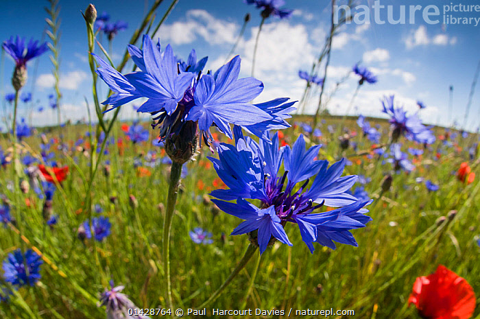 Cornflowers (Centaurea cyanus) growing on fallow fields near Orvieto, Umbria, Italy, June. Taken with fisheye lens  ,  ASTERACEAE,BLUE,COMPOSITAE,DICOTYLEDONS,EUROPE,FARMLAND,FISH-EYE,FLOWERS,ITALY,PLANTS high1314,CENTAUREA GENUS,Plant,Vascular plant,Flowering plant,Asterid,Knapweed,Cornflower,Plantae,Plant,Tracheophyta,Vascular plant,Magnoliopsida,Flowering plant,Angiosperm,Seed plant,Spermatophyte,Spermatophytina,Angiospermae,Asterales,Asterid,Dicot,Dicotyledon,Asteranae,Asteraceae,Compositae,Centaurea,Knapweed,Star thistle,Growth,Grow,Growing,Grows,Optimism,Optimistic,Happiness,Colour,Blue,Nobody,Vibrant Colour,Europe,Southern Europe,Italy,Umbria,Close Up,Wildflower,Wildflowers,Flower,Sunflower Family,Cornflower,Bachelor Button,Bachelor Button Flower,Bachelor Button Flowers,Bachelor Buttons,Batchelor Button,Batchelor Button Flower,Batchelor Button Flowers,Batchelor Buttons,Cornflowers,Cultivated Land,Fields,Outdoors,Open Air,Outside,Day,Grassland,Meadow,Meadows,Farmland,Centaurea cyanus,Flowerhead,Fallow,Orvieto,Blue Colour,Fish Eye Lens  ,  Paul  Harcourt Davies