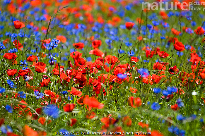 Cornflowers (Centaurea cyanus) and Poppies (Papaver rhoeas) growing on fallow fields near Orvieto, Umbria, Italy, June  ,  BLUE,DICOTYLEDONS,EUROPE,FARMLAND,FLOWERS,ITALY,MIXED SPECIES,PAPAVERACEAE,PLANTS,RED,WILDFLOWERS  ,  Paul Harcourt Davies