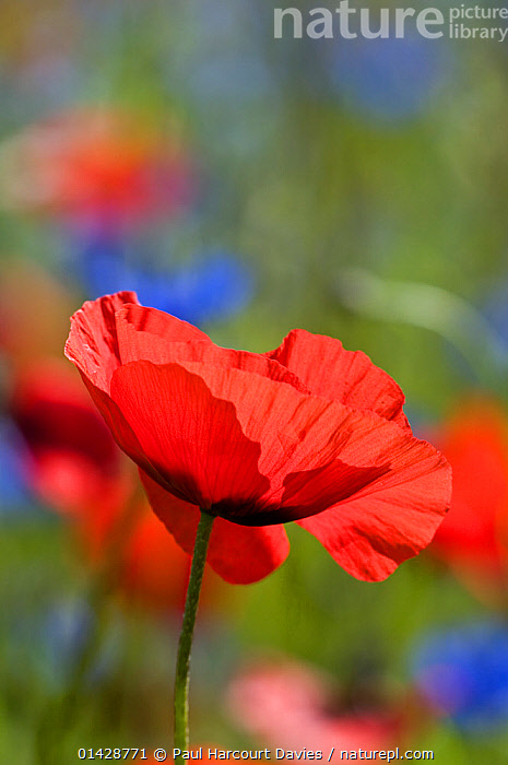 Poppies (Papaver rhoeas) growing on fallow fields near Orvieto, Umbria, Italy, June.  ,  DICOTYLEDONS,EUROPE,FLOWERS,ITALY,PAPAVERACEAE,PLANTS,RED,VERTICAL  ,  Paul Harcourt Davies