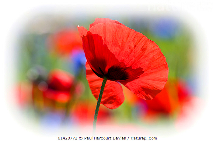Poppies (Papaver rhoeas) in flower, with vignette effect, growing on fallow fields near Orvieto, Umbria, Italy, June.  ,  DICOTYLEDONS,EUROPE,FLOWERS,ITALY,PAPAVERACEAE,PLANTS,RED,VIGNETTE,VIGNETTES  ,  Paul Harcourt Davies