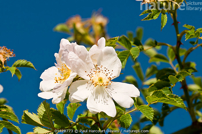 Dog Rose (Rosa canina) in flower in a garden Garden. Orvieto, Italy, June  ,  DICOTYLEDONS,EUROPE,FLOWERS,ITALY,PINK,PLANTS,ROSACEAE,WHITE  ,  Paul Harcourt Davies