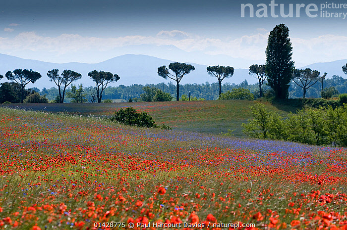 Cornflowers (Centaurea cyanus) and poppies (Papaver rhoeas) growing on fallow fields near Orvieto, Umbria, Italy, June  ,  ATMOSPHERIC,BLUE,COUNTRYSIDE,DICOTYLEDONS,EUROPE,FARMLAND,FLOWERS,ITALY,LANDSCAPES,MIST,MIXED SPECIES,PAPAVERACEAE,PEACEFUL,PLANTS,RED,SILHOUETTES,TREES,WILDFLOWERS  ,  Paul Harcourt Davies