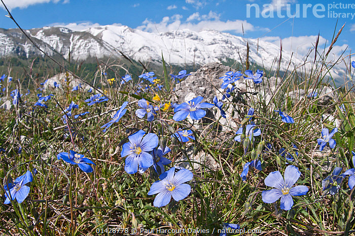 Perennial Flax (Linum narbonsense ) in flower, Gran Sasso, Appennines, Abruzzo, Italy, May  ,  ALPINE,APPENINE,BLUE,DICOTYLEDONS,EUROPE,FLOWERS,HABITAT,ITALY,LINACEAE,PLANTS,Apennines,Appennines,  ,  Paul Harcourt Davies