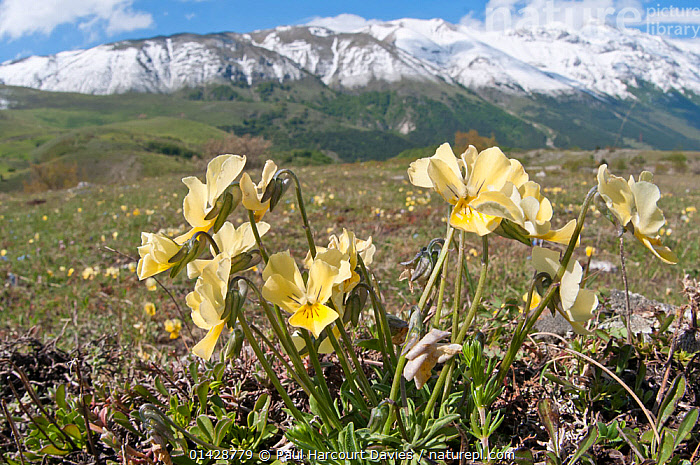 Eugenia's Violet (Viola eugeniaea) in flower,  yellow form Campo Imperatore, Gran Sasso, Appennines, Abruzzo, Italy, May  ,  ALPINE,APPENINE,DICOTYLEDONS,EUROPE,FLOWERS,HABITAT,ITALY,LANDSCAPES,MOUNTAINS,PLANTS,VIOLACEAE,YELLOW,Apennines,Appennines,  ,  Paul Harcourt Davies