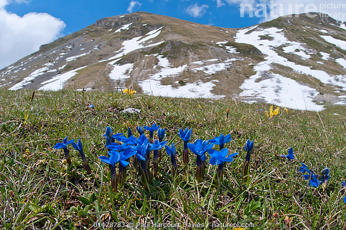 Spring Gentian (Gentiana verna) in flower with snow on mountains in background, Gran Sasso, Appennines, Abruzzo, Italy, June  ,  ALPINE,APPENNINE,BLUE,DICOTYLEDONS,EUROPE,FLOWERS,GENTIANACEAE,ITALY,LANDSCAPES,PLANTS,Apennines,Appennines,  ,  Paul Harcourt Davies