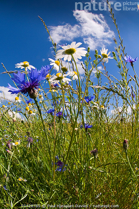 Cornflowers (Centaurea cyanus) growing on fallow fields with Scented mayweed (Matricaria recutita / chamomilla) near Orvieto, Umbria, Italy, May. Taken with fisheye lens  ,  ASTERACEAE,BLUE,COMPOSITAE,DICOTYLEDONS,EUROPE,FARMLAND,FLOWERS,ITALY,MIXED SPECIES,PLANTS,VERTICAL,WHITE  ,  Paul Harcourt Davies