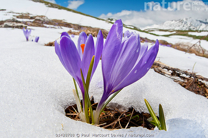 Spring Crocus (Crocus vernus) in flower in snow,  Campo Imperatore, Gran Sasso, Appennines, Abruzzo, Italy, May  ,  ALPINE,EUROPE,FLOWERS,HABITAT,IRIDACEAE,ITALY,MONOCOTYLEDONS,MOUNTAINS,PLANTS,PURPLE,SNOW high1314,CROCUS VERNUS,Plant,Vascular plant,Flowering plant,Monocot,Iris family,Spring crocus,Plantae,Plant,Tracheophyta,Vascular plant,Magnoliopsida,Flowering plant,Angiosperm,Seed plant,Spermatophyte,Spermatophytina,Angiospermae,Asparagales,Monocot,Monocotyledon,Lilianae,Iridaceae,Iris family,Crocus,Crocus angustifolius,Spring crocus,Giant crocus,Dutch crocus,Cloth of gold,Crocus vernus,Crocus angustifolia,Crocus susianus,Resilience,Resilient,Growth,Grow,Growing,Grows,Colour,Purple,Two,Nobody,Vibrant Colour,Temperature,Cold,Europe,Southern Europe,Italy,Abruzzo,Close Up,Flower,Hill,Hills,Hillside,Hillsides,Mountain,Snow,Outdoors,Open Air,Outside,Day,Nature,Natural,Natural World,Two Objects,Gran Sasso,Campo Imperatore,Apennines,Appennines,  ,  Paul  Harcourt Davies