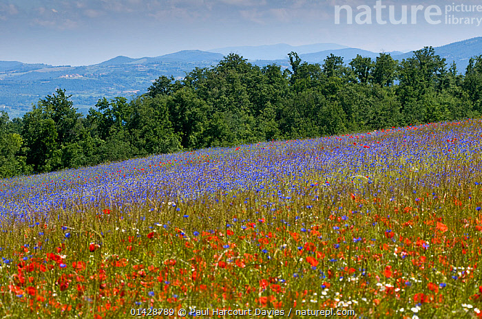 Cornflowers (Centaurea cyanus) and poppies (Papaver rhoeas) growing on fallow fields near Orvieto, Umbria, Italy, May, taken with fisheye lens  ,  BLUE,DICOTYLEDONS,EUROPE,FARMLAND,FLOWERS,ITALY,LANDSCAPES,MIXED SPECIES,PAPAVERACEAE,PLANTS,RED  ,  Paul Harcourt Davies