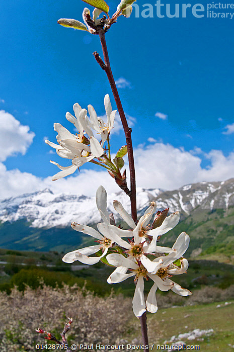 Amelanchier (Amelanchier ovalis) in flower, Gran Sasso, Appennines, Abruzzo, Italy, May  ,  ALPINE,APPENNINE,DICOTYLEDONS,EUROPE,FLOWERS,ITALY,LANDSCAPES,MOUNTAINS,PLANTS,ROSACEAE,TREES,VERTICAL,WHITE,Apennines,Appennines,  ,  Paul Harcourt Davies