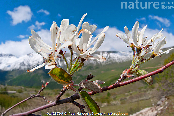 Amelanchier (Amelanchier ovalis) in flower, Gran Sasso, Appennines, Abruzzo, Italy, May  ,  ALPINE,APPENNINE,DICOTYLEDONS,EUROPE,FLOWERS,ITALY,PLANTS,ROSACEAE,TREES,WHITE,Apennines,Appennines,  ,  Paul Harcourt Davies