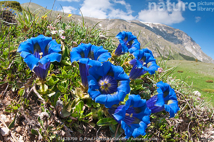Appennine Trumpet Gentian (Gentiana dinarica) in flower, Mount Vettore, Sibillini, Appennines, Le Marche, Italy, May.  ,  ALPINE,APPENNINE,BLUE,DICOTYLEDONS,EUROPE,FLOWERS,GENTIANACEAE,HABITAT,ITALY,LANDSCAPES,MOUNTAINS,PLANTS,Apennines,Appennines,  ,  Paul Harcourt Davies