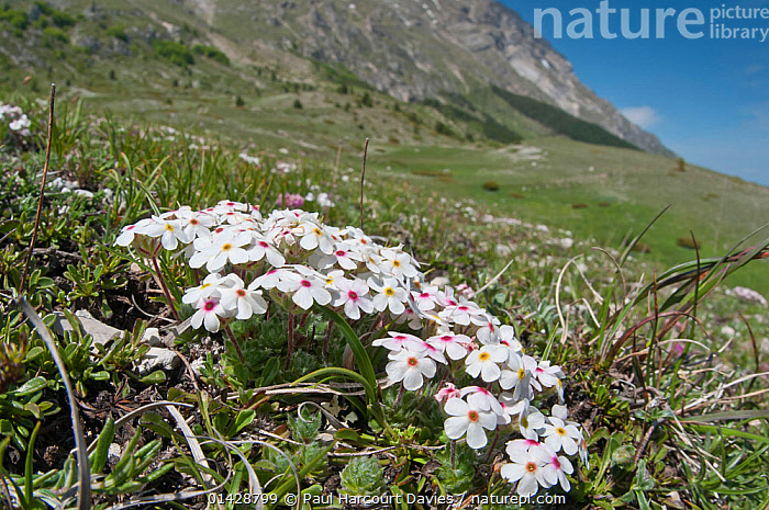 Rock Jasmine (Androsace villosa) in flower, Mount Vettore, Sibillini, Appennines, Le Marche, Italy, May  ,  ALPINE,APPENNINE,DICOTYLEDONS,EUROPE,FLOWERS,HABITAT,ITALY,PLANTS,PRIMULACEAE,Apennines,Appennines,  ,  Paul Harcourt Davies