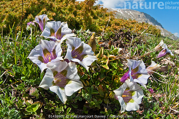 Appennine Trumpet Gentian (Gentiana dinarica) in flower, white form, Mount Vettore,Sibillini, Appennines, Le Marche, Italy, May  ,  DICOTYLEDONS,EUROPE,FLOWERS,GENTIANACEAE,ITALY,PLANTS,WHITE,Apennines,Appennines,  ,  Paul Harcourt Davies