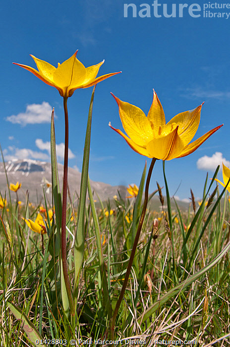 Yellow tulip (Tulipa australis) in flower, above Piano Grande, Sibillini, Appennines, Umbria, Italy, May  ,  ALPINE,APPENNINE,EUROPE,FLOWERS,ITALY,LILIACEAE,MONOCOTYLEDONS,MOUNTAINS,PLANTS,VERTICAL,YELLOW,Apennines,Appennines,  ,  Paul Harcourt Davies