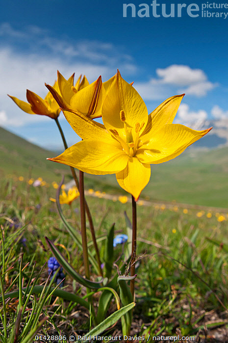 Yellow tulip (Tulipa australis) in flower, above Piano Grande, Sibillini, Appennines, Umbria, Italy, May  ,  ALPINE,APPENNINE,EUROPE,FLOWERS,ITALY,LILIACEAE,MONOCOTYLEDONS,PLANTS,VERTICAL,YELLOW,Apennines,Appennines,  ,  Paul Harcourt Davies