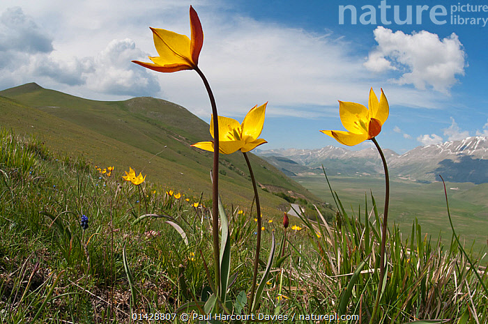 Yellow tulip (Tulipa australis) in flower, above Piano Grande, Sibillini, Appennines, Umbria, Italy, May  ,  ALPINE,APPENNINE,EUROPE,FLOWERS,HABITAT,ITALY,LANDSCAPES,LILIACEAE,MONOCOTYLEDONS,MOUNTAINS,PLANTS,YELLOW,Apennines,Appennines,  ,  Paul Harcourt Davies